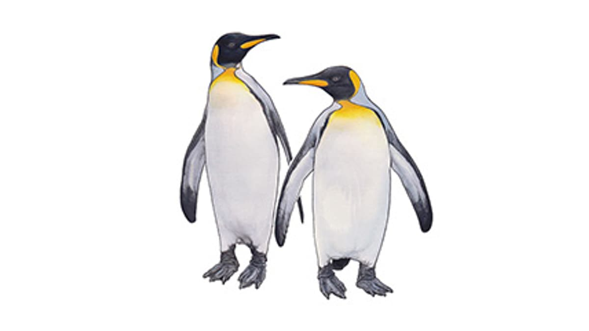 Illustration Königspinguin