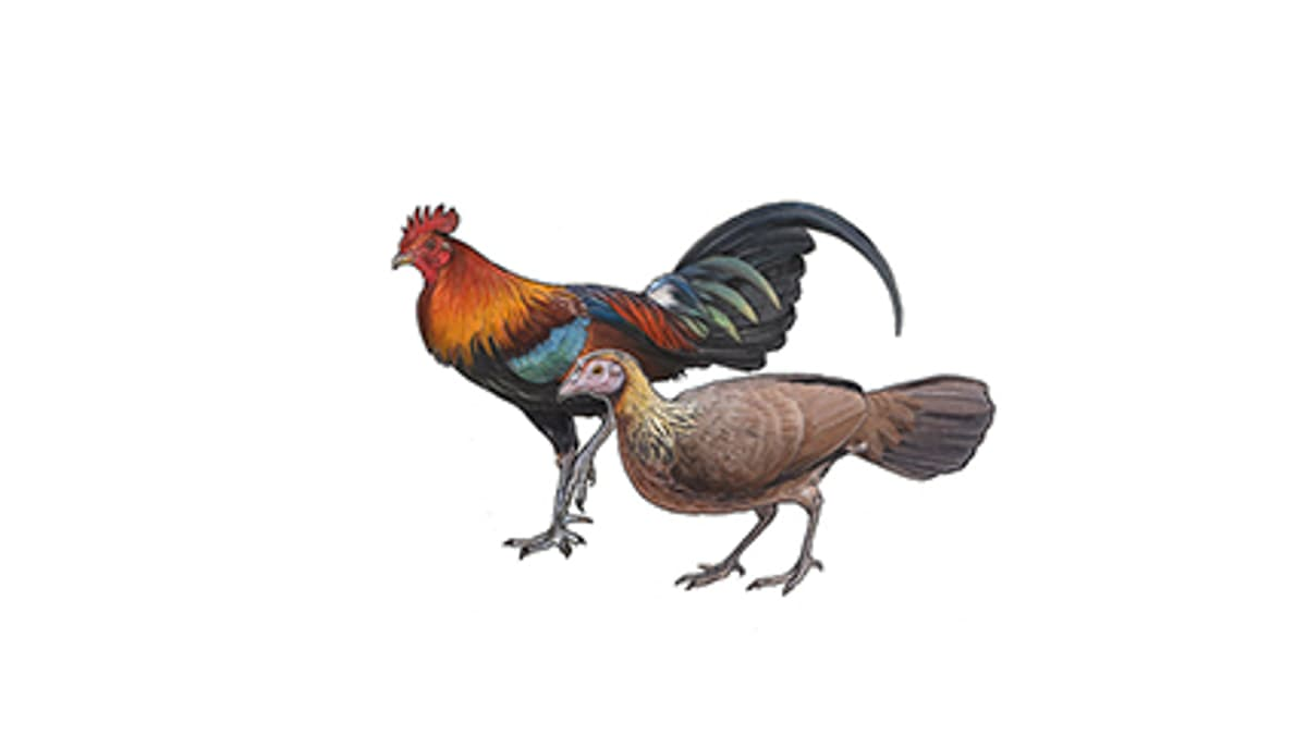 Illustration Bankivahuhn