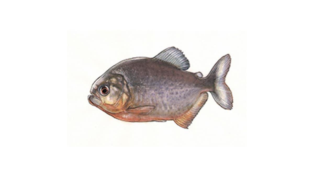 Illustration Roter Piranha