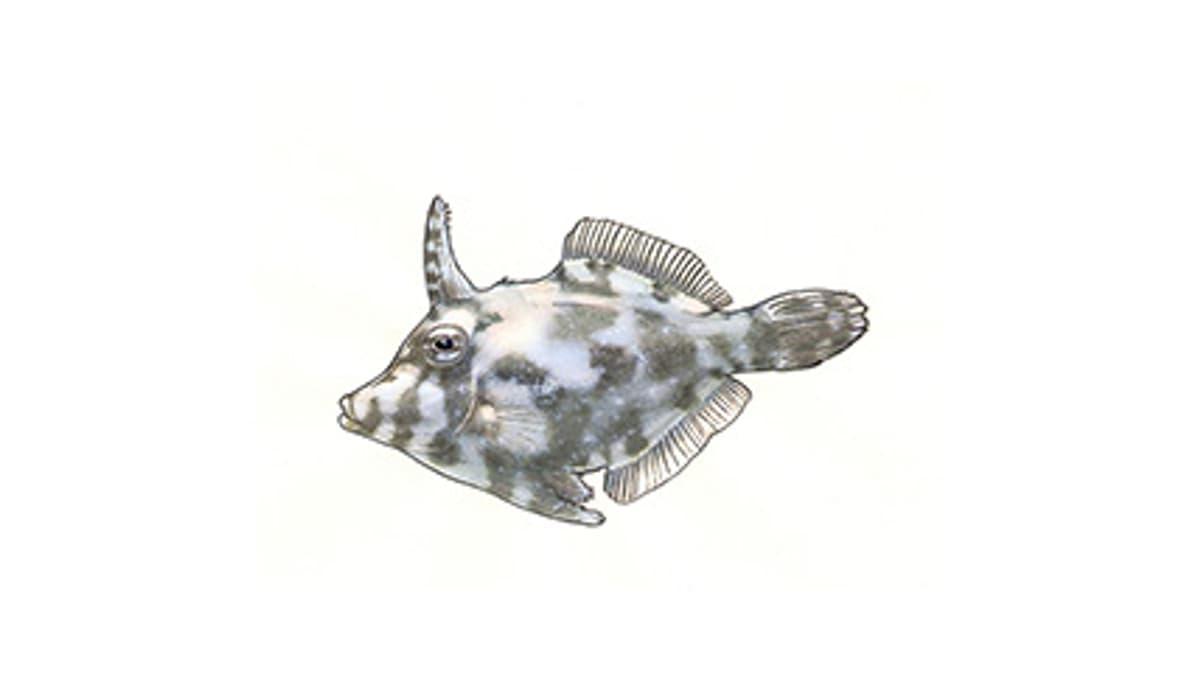 Illustration Tangfeilenfisch