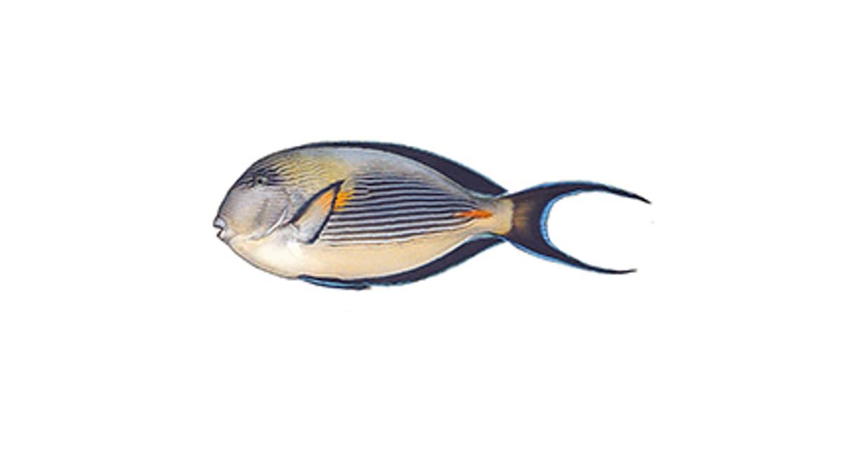Arabischer-Doktorfisch