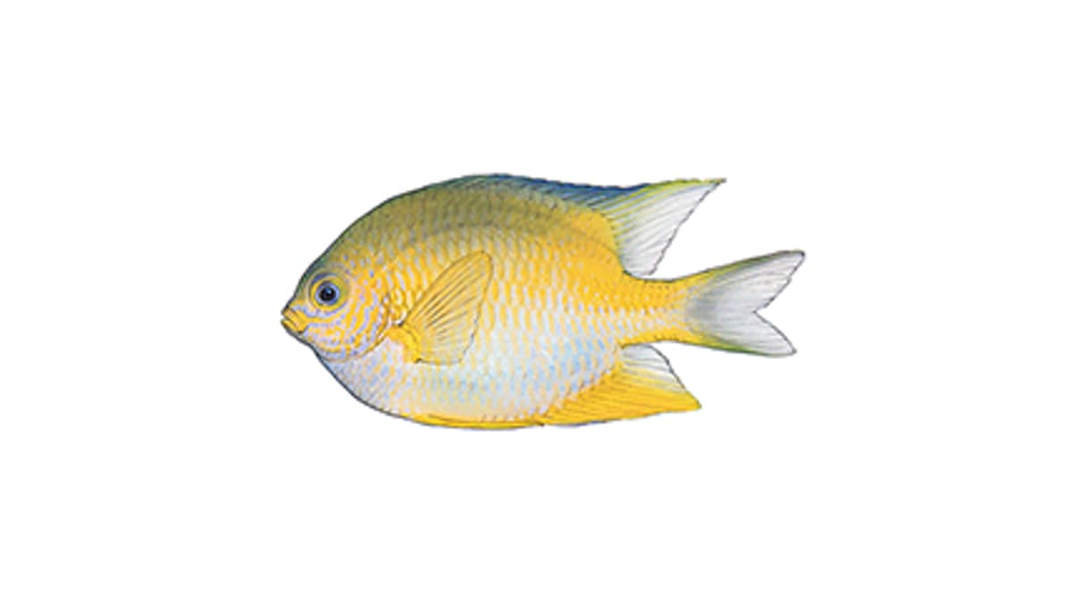 Illustration Goldener Riffbarsch