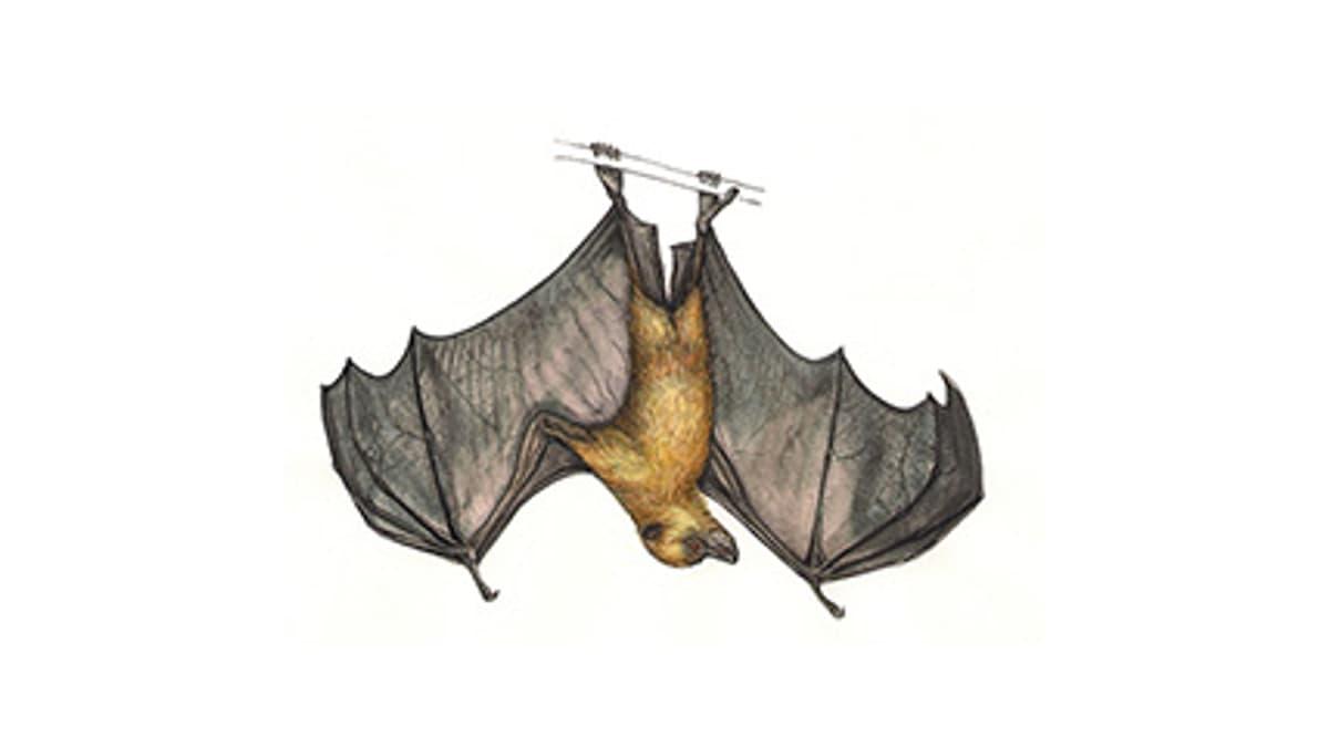 Illustration Rodrigues-Flughund