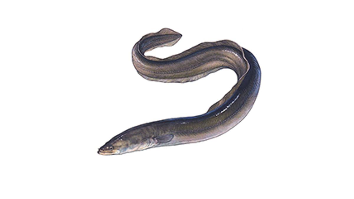 Illustration Europäischer Aal
