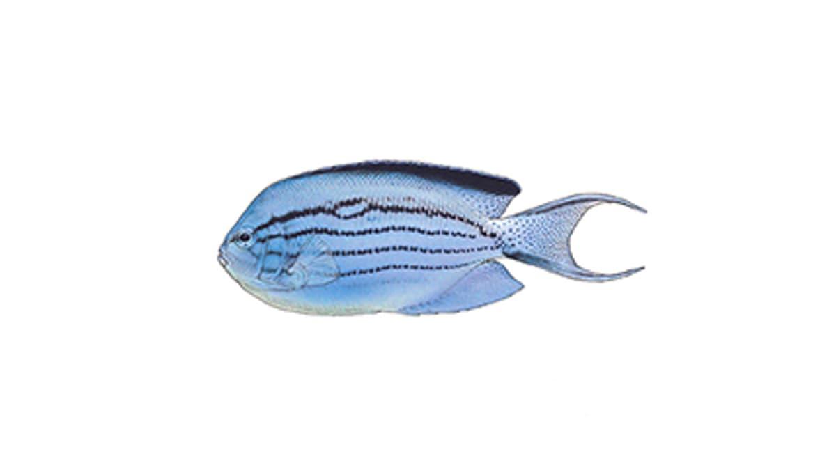 Illustration Lamarcks Lyrakaiserfisch