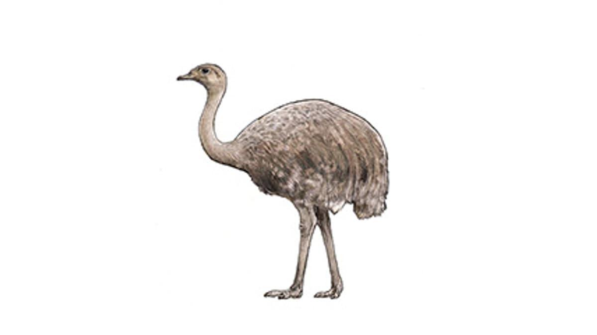 Illustration Darwin-Nandu
