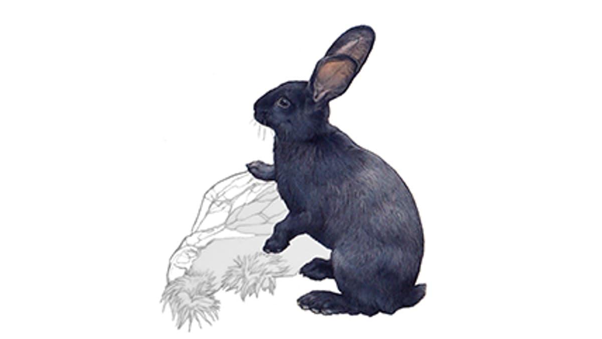 Illustration Hauskaninchen