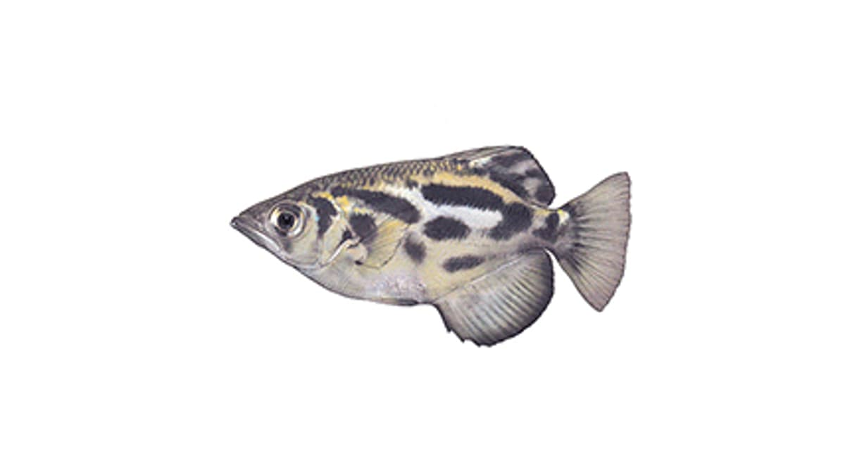 Illustration Leopard-Schützenfisch