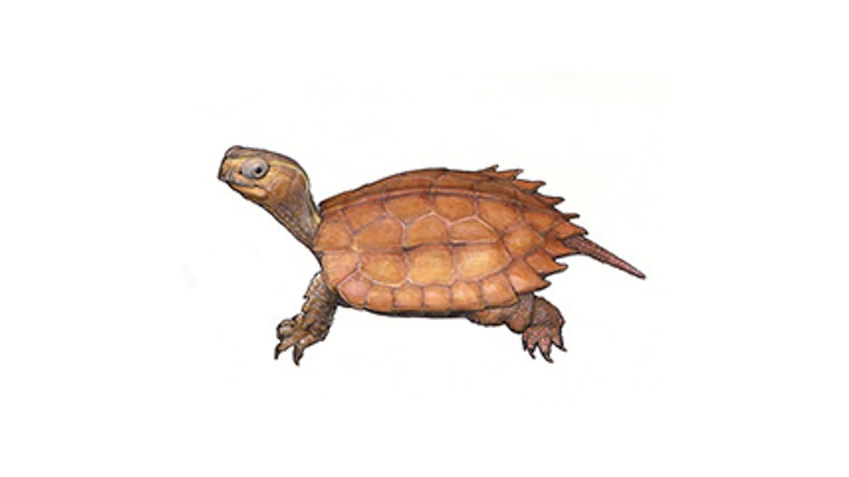 Illustration Spenglers Zacken-Erdschildkröte