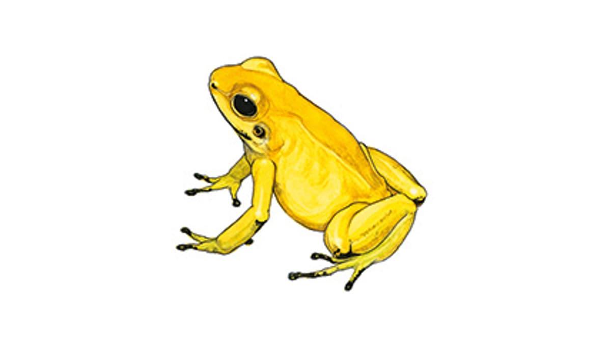 Illustration Goldener Pfeilgiftfrosch