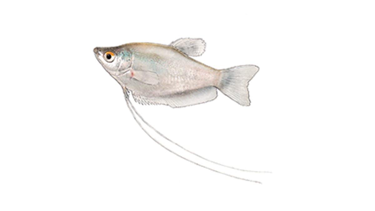 Illustration Mondscheinfadenfisch