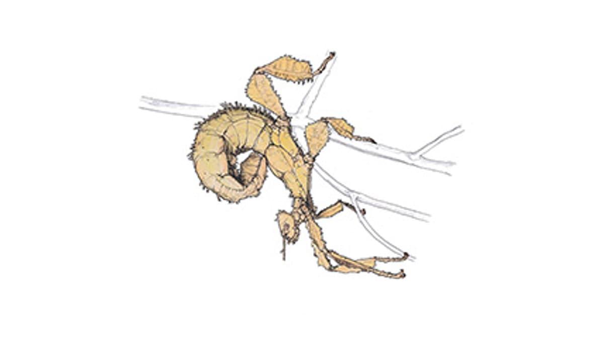 Illustration Australische Gespenstschrecke