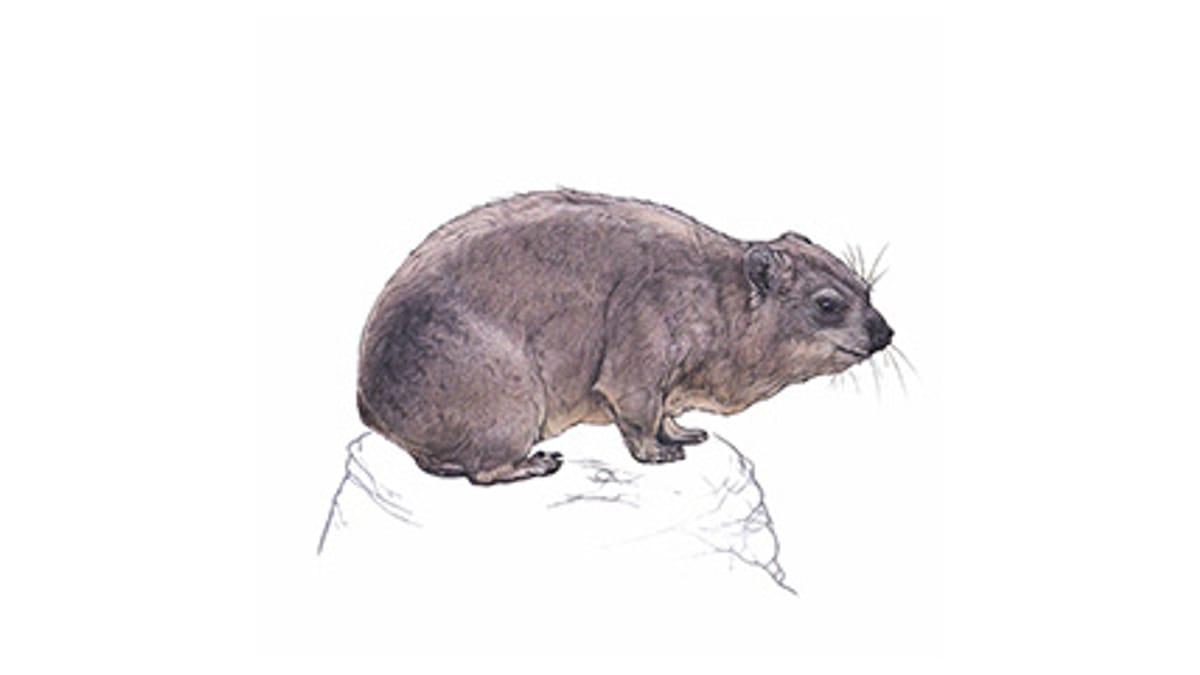 Illustration Kap-Klippschliefer