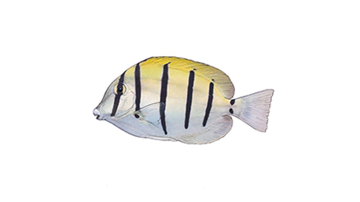 Illustration Gitter-Doktorfisch