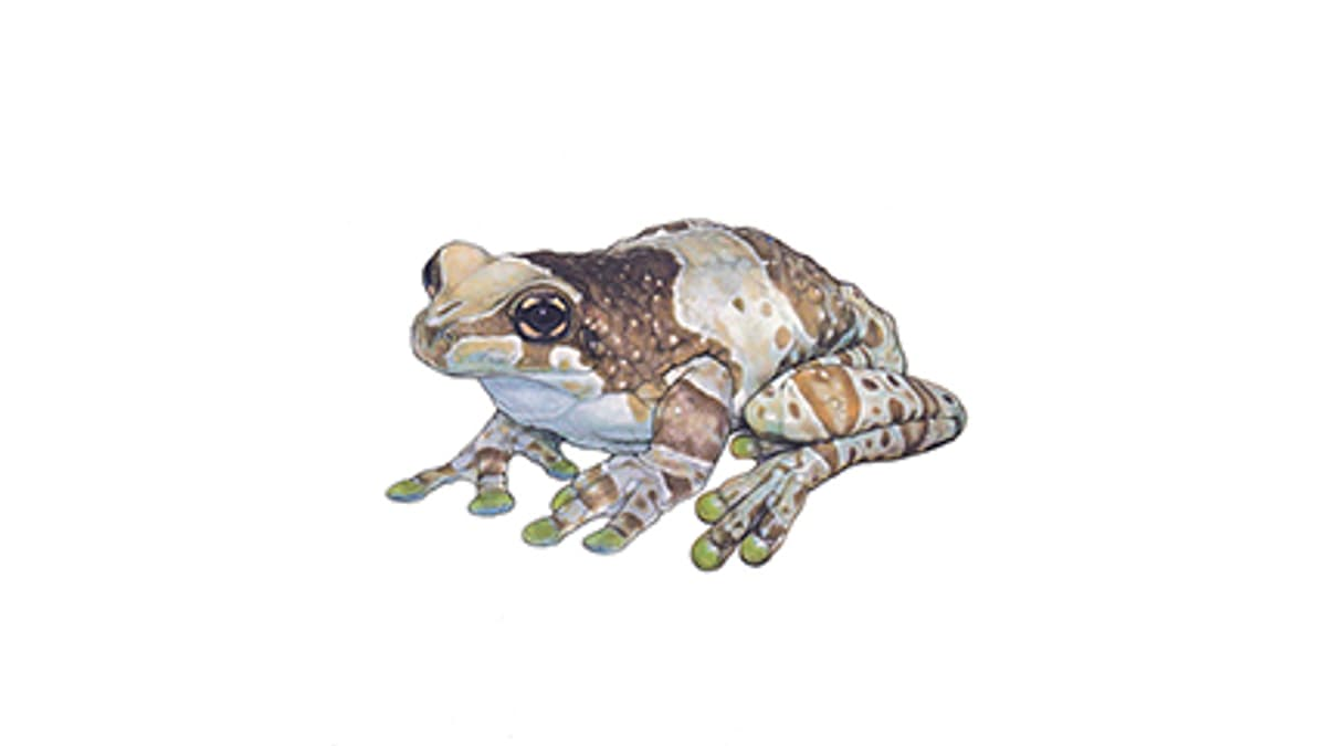 Illustration: Baumhöhlen-Krötenlaubfrosch