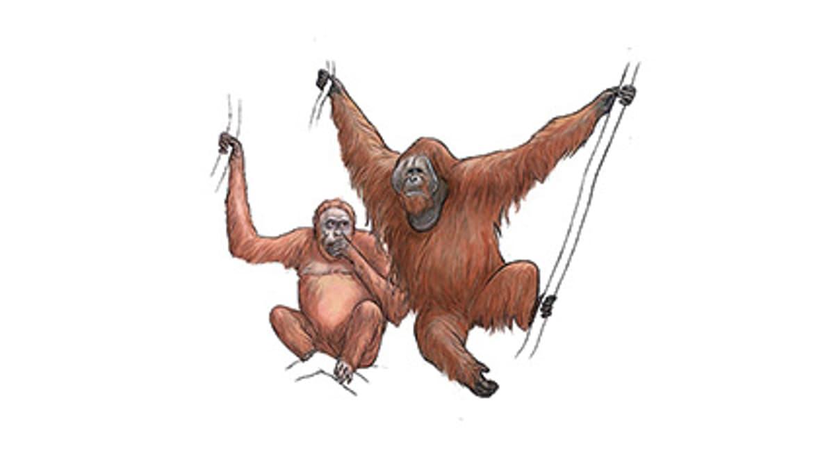 Illustration Orang-outan de Sumatra