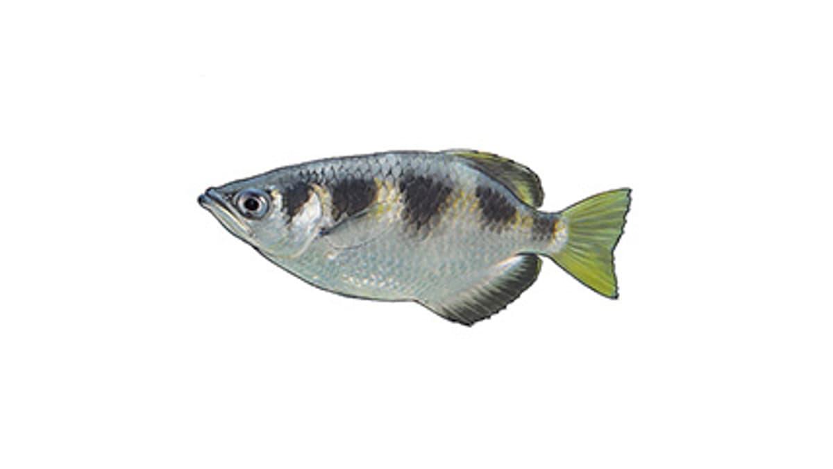 Illustration Schützenfisch