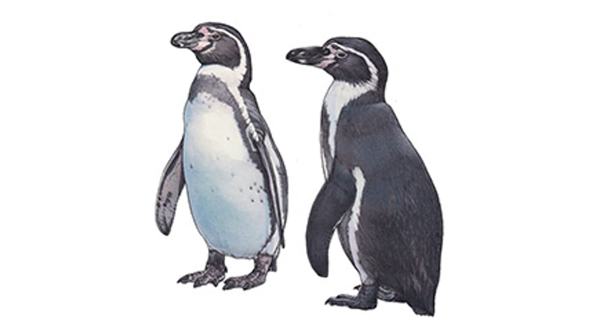 Illustration Humboldtpinguin