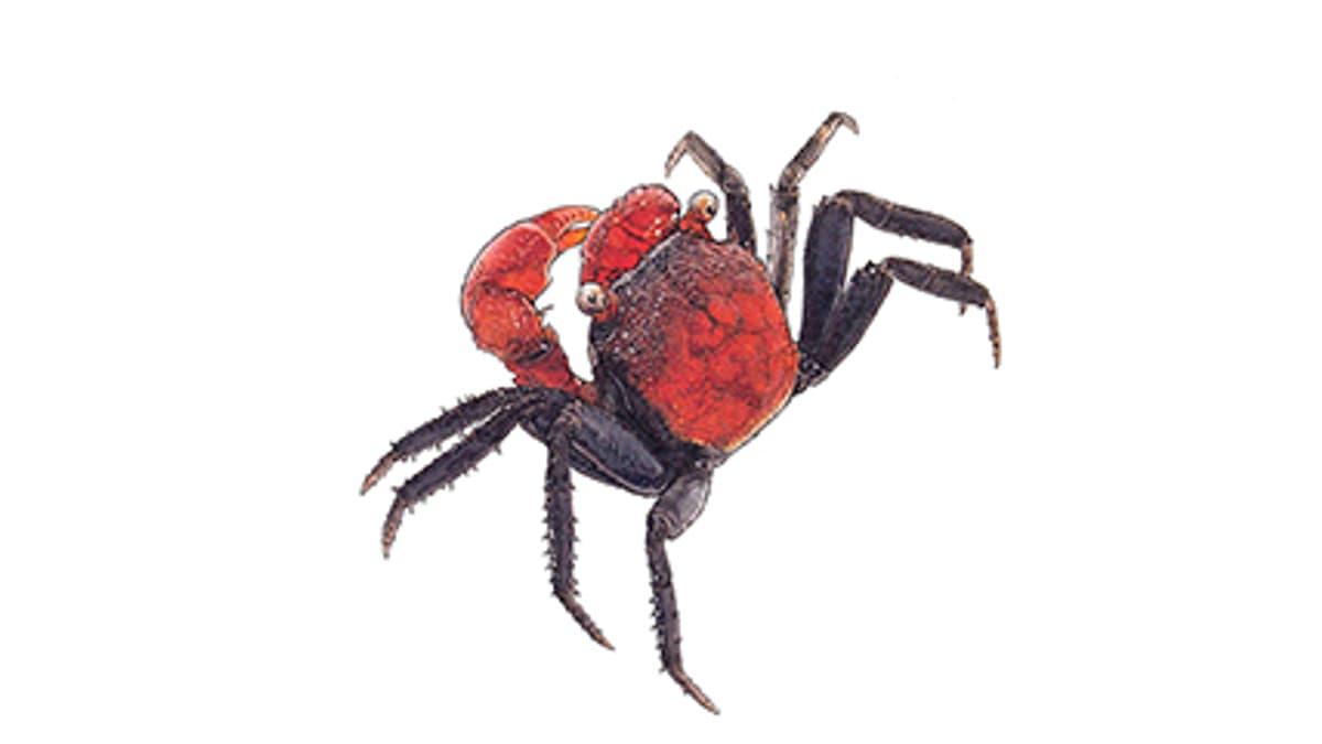 Illustration Rote Vampirkrabbe